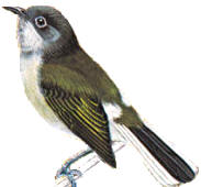 Cassin Honey bird Prodotiscus insignis
