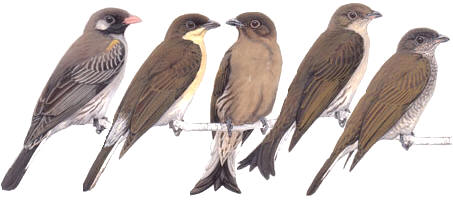 Honey-guide are almost all drab colored birds