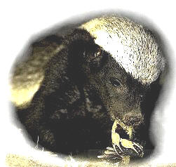 A Ratel (honey badger)